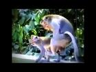 Monkey Mating ~ Big Cats and Monkey Mating   Breeding