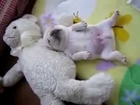 funny french bulldog 2 - 100500 Really Funny Dog Video