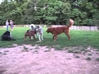 Elsie at Dog Park   Pitbull vs Wolf   lol - 100500 Really Funny Dog Video