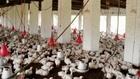Poultry Farm (Kamran -- Tariq)