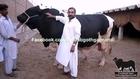 Amir Dilpasand Cattle Farm Bull For 2014