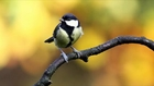 Great Tit Bird Call Bird Song