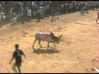 Jallikattu: The Indian Bull Fight